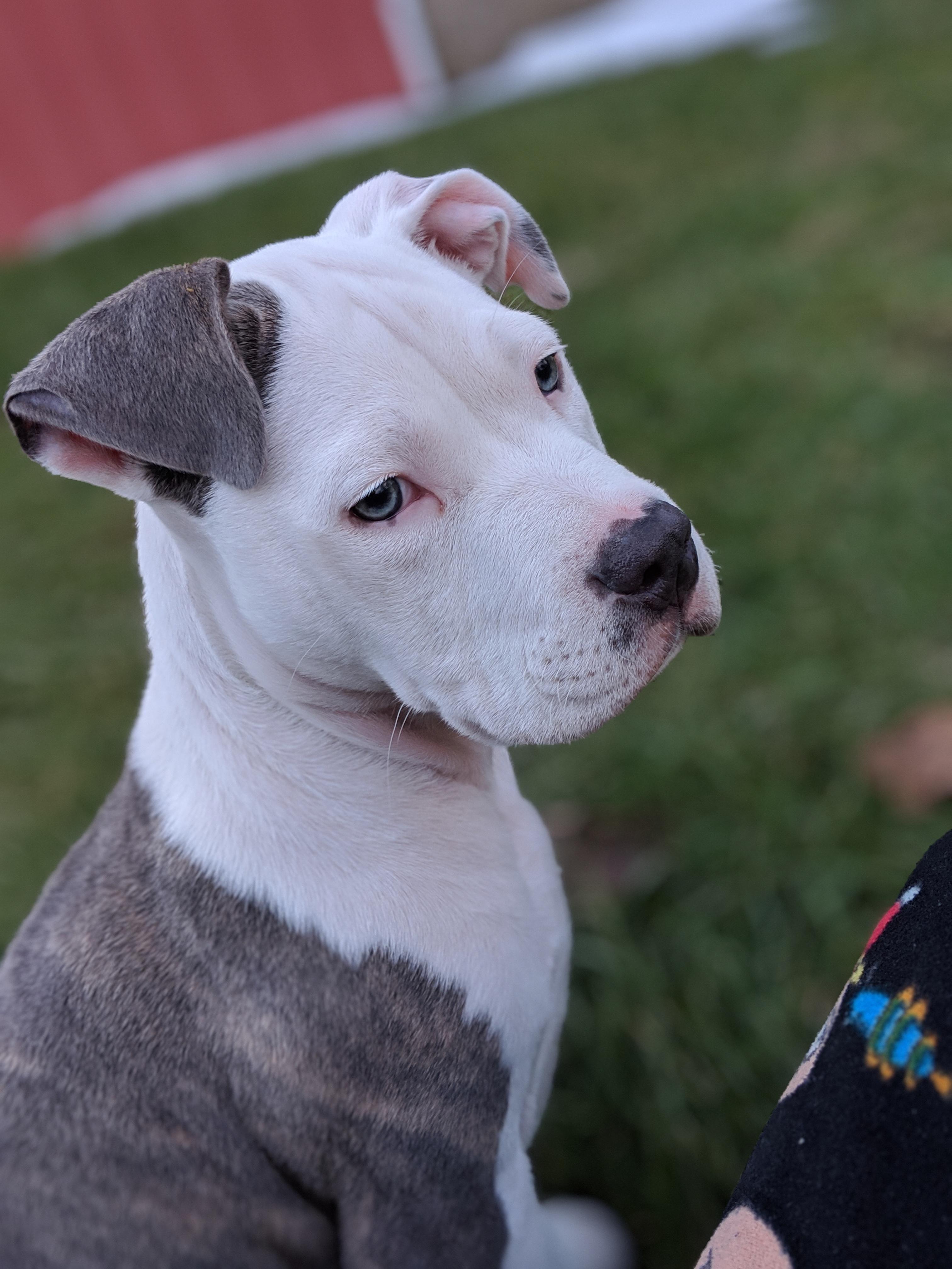 Cute Blue Eyed Pit Bull Terrier Dog  Refrigerator Tool  Box Magnet