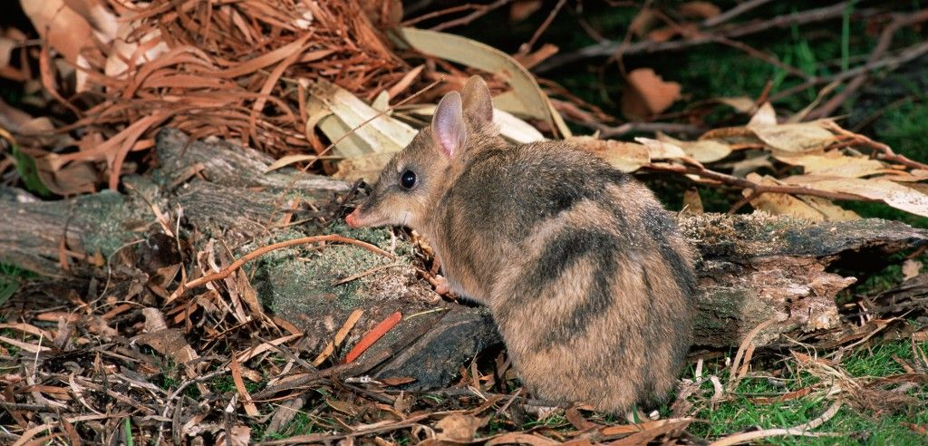 Two populations of bandicoots show that learning to fear a new predator can take quite some time.