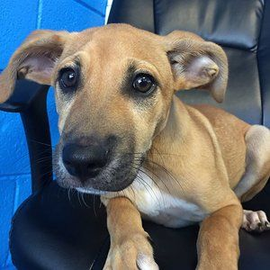 Meet Cashew. 3 mo old male boxer mix. Ready for his
