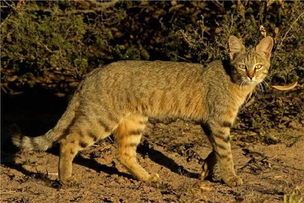 Nr 2 African Wild Cat There Are Three Distinct Races Of European