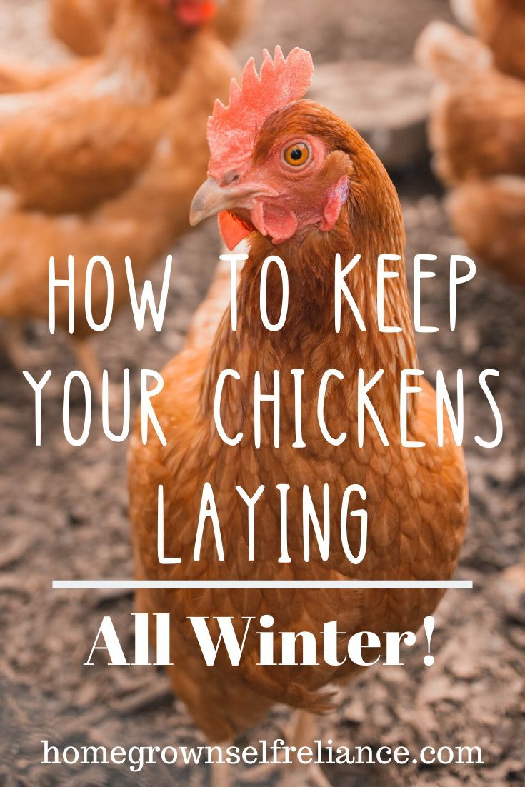 Caring for Backyard Chickens in the Winter in 2020 ...