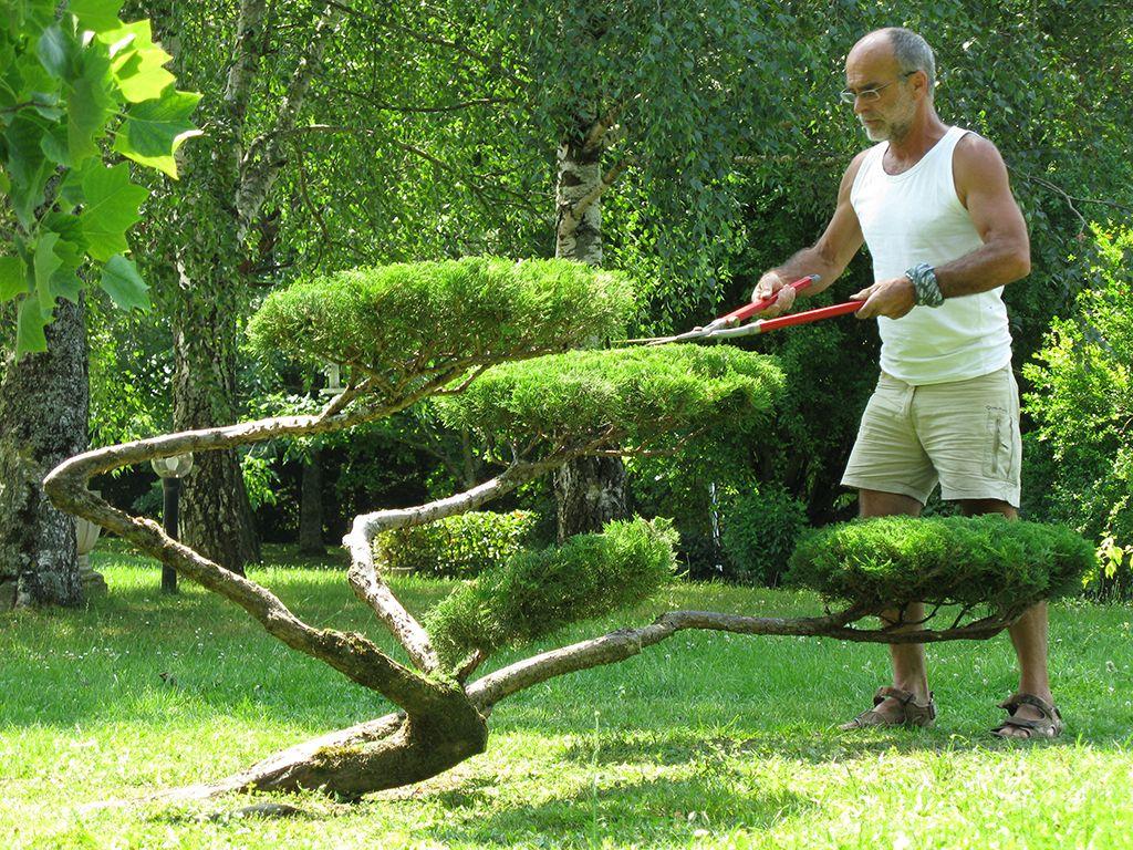 le traitement ventuel et la fin de structuration de votre niwaki bonsai. Black Bedroom Furniture Sets. Home Design Ideas