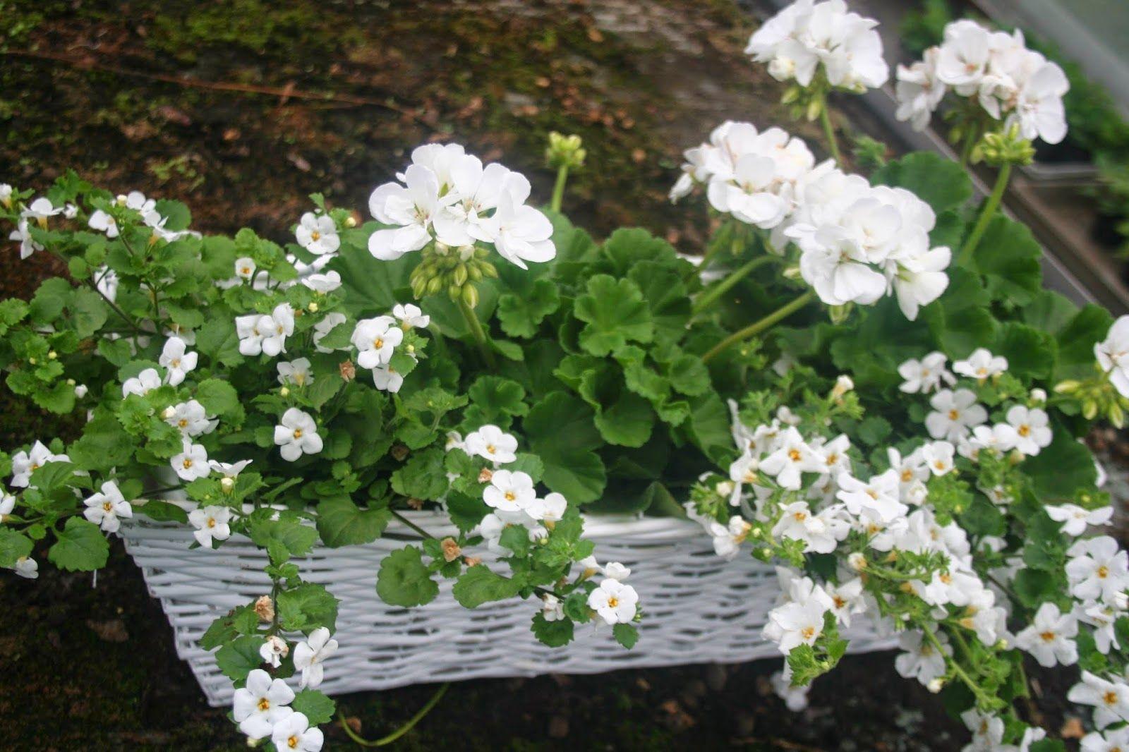 Kompozycje Kwiatowe Na Balkon I Do Ogrodu Plants