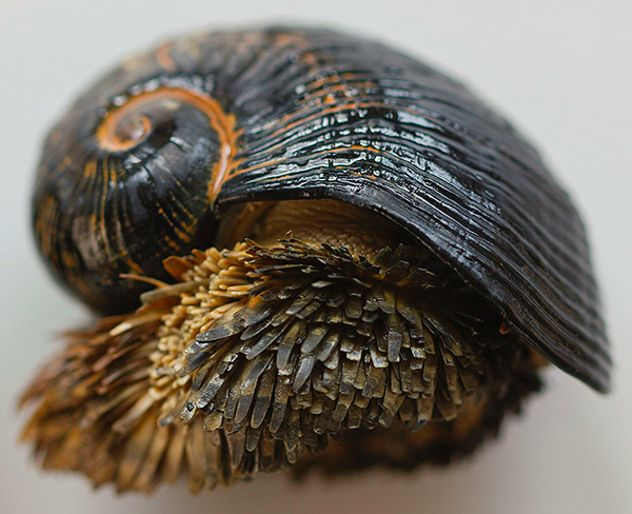 Scaly foot Gastropod - these snail species have an iron shell that they incorporate from tiny iron particles floating along the ocean.