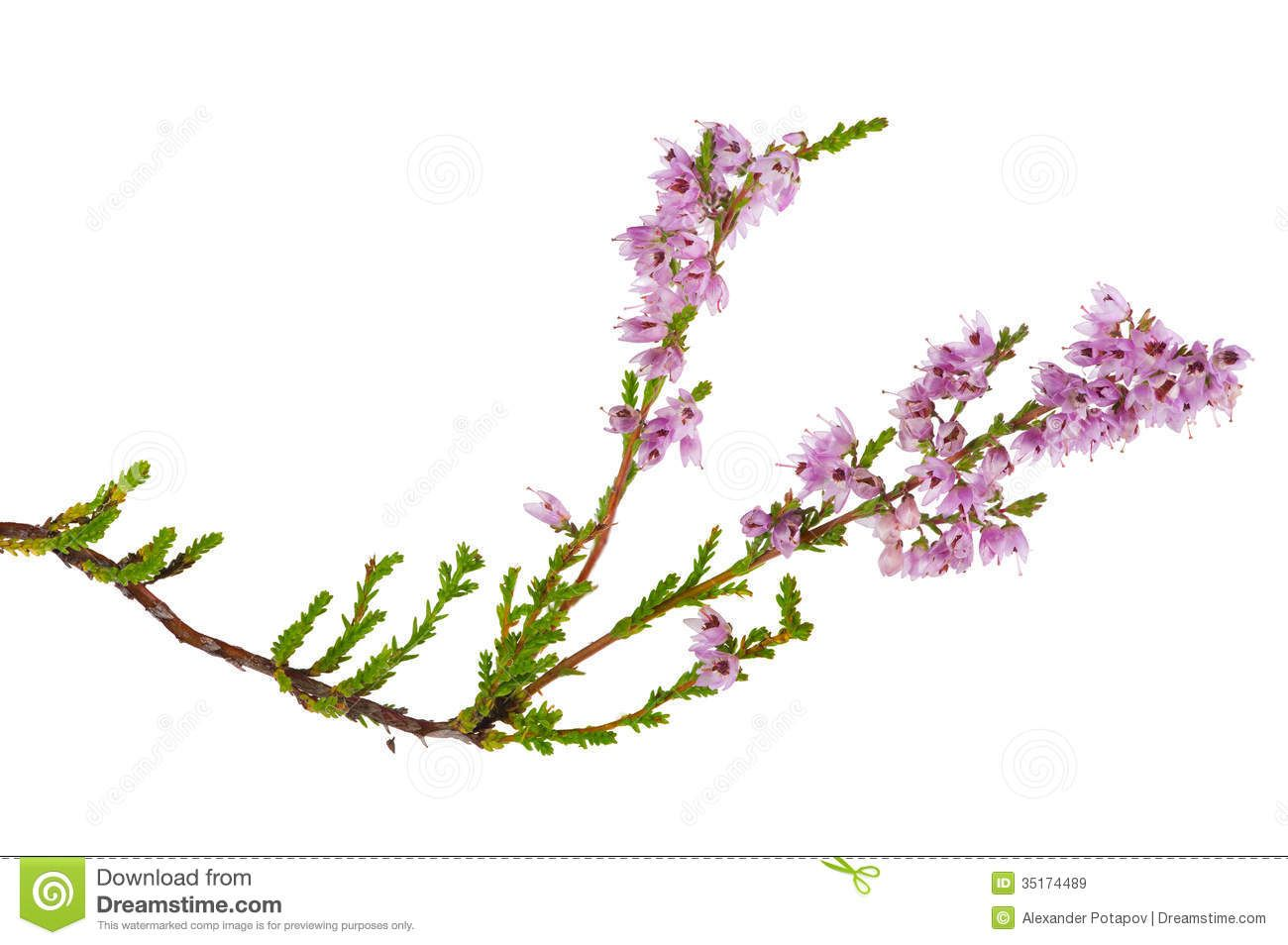Isolated Pink Blossoming Heather Branch Heather Flower Heather Plant Heather Wreath
