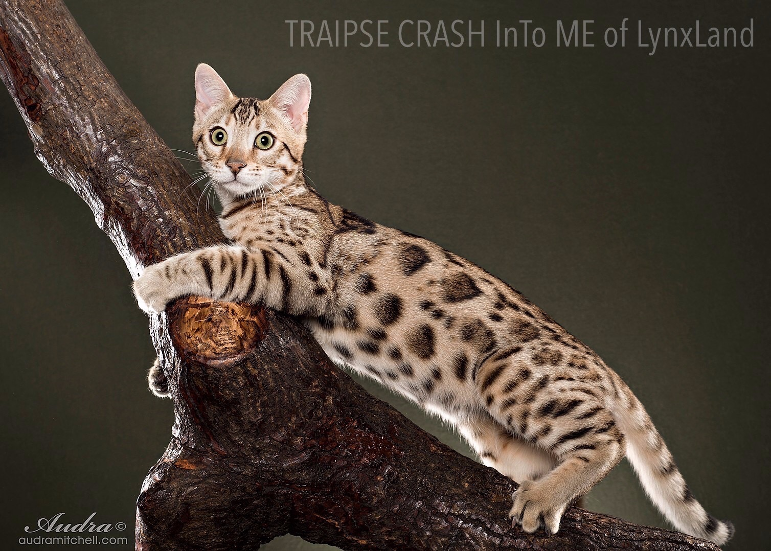 Bengal Breed Standard By Tica Bengal Breed Group Bg Bgl In 2020 Bengal Cat Breeders Domestic Cat Breeds Bengal Cat