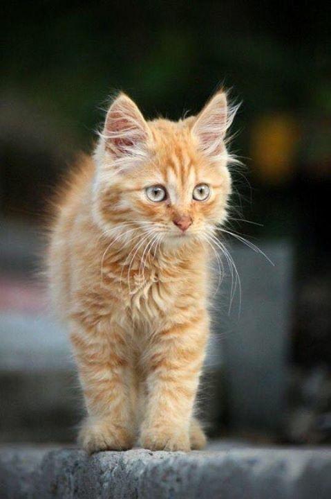 Ginger kitten #gingerkitten