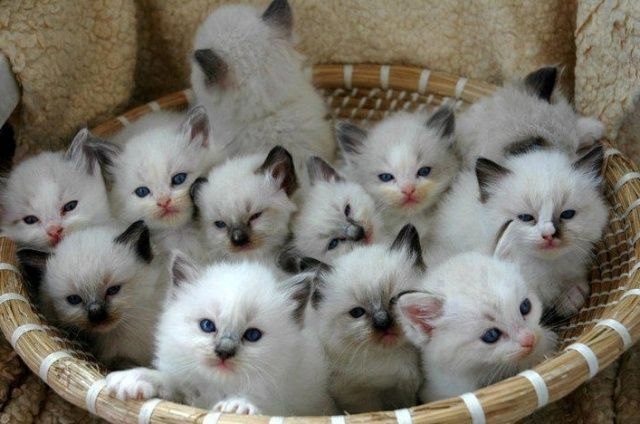 Ragdoll Kittens For Sale Ny Cute Cats Pictures Cute Animals