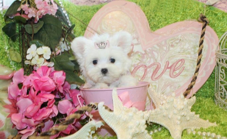 Park Art My WordPress Blog_Maltese Puppies For Sale In Fl