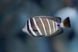 Sailfin Tang Aquarium Fish Fish Pet Tropical Fish
