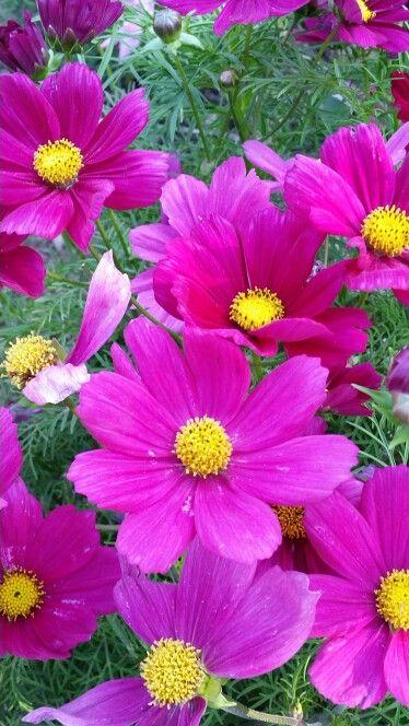 Cosmea Cosmos Flowers Wonderful Flowers Watercolor Flowers
