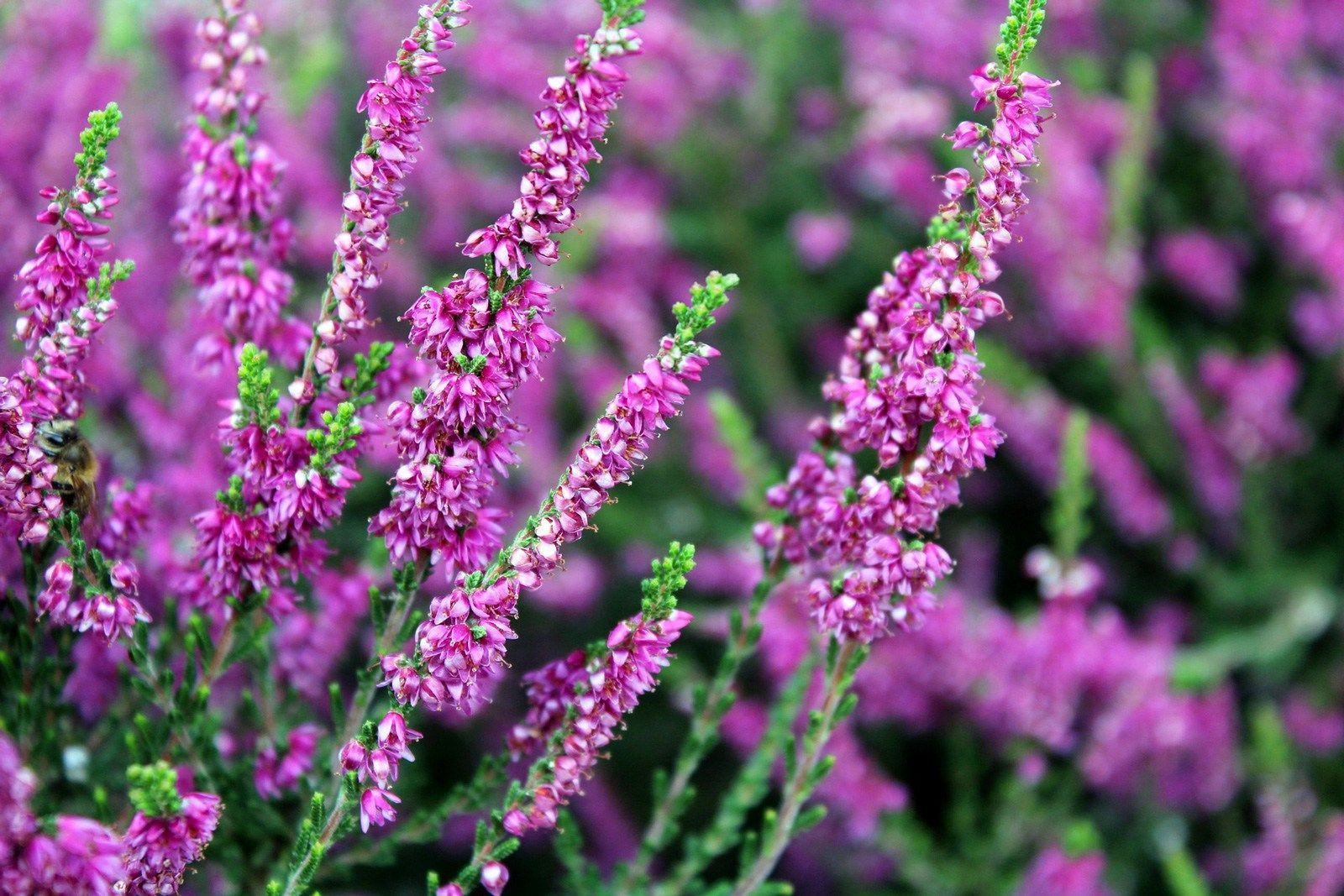Image Result For Heather Heather Plant Plants Perennial Garden Plans