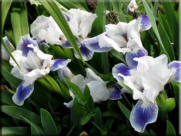 Dwarf Iris Boo