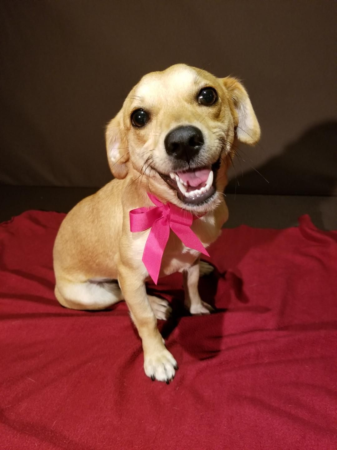 Adopt Cinnamon on Dachshund rescue, Dachshund adoption