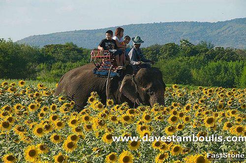 Elephant ride in the sunflower fields near Saraburi Thailand.  #ridecolorfully