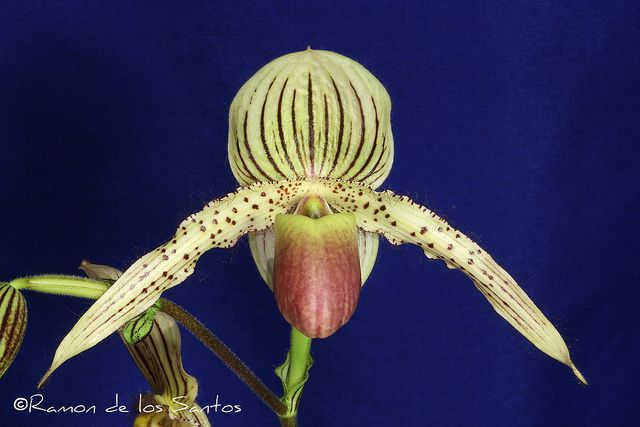 Paph. Prime Child | Flickr - Photo Sharing!
