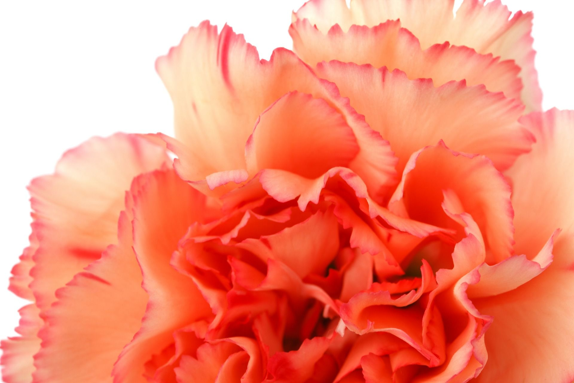The History Of Carnations Blooms Today In 2020 Carnation Flower Birth Month Flowers January Birth Flowers