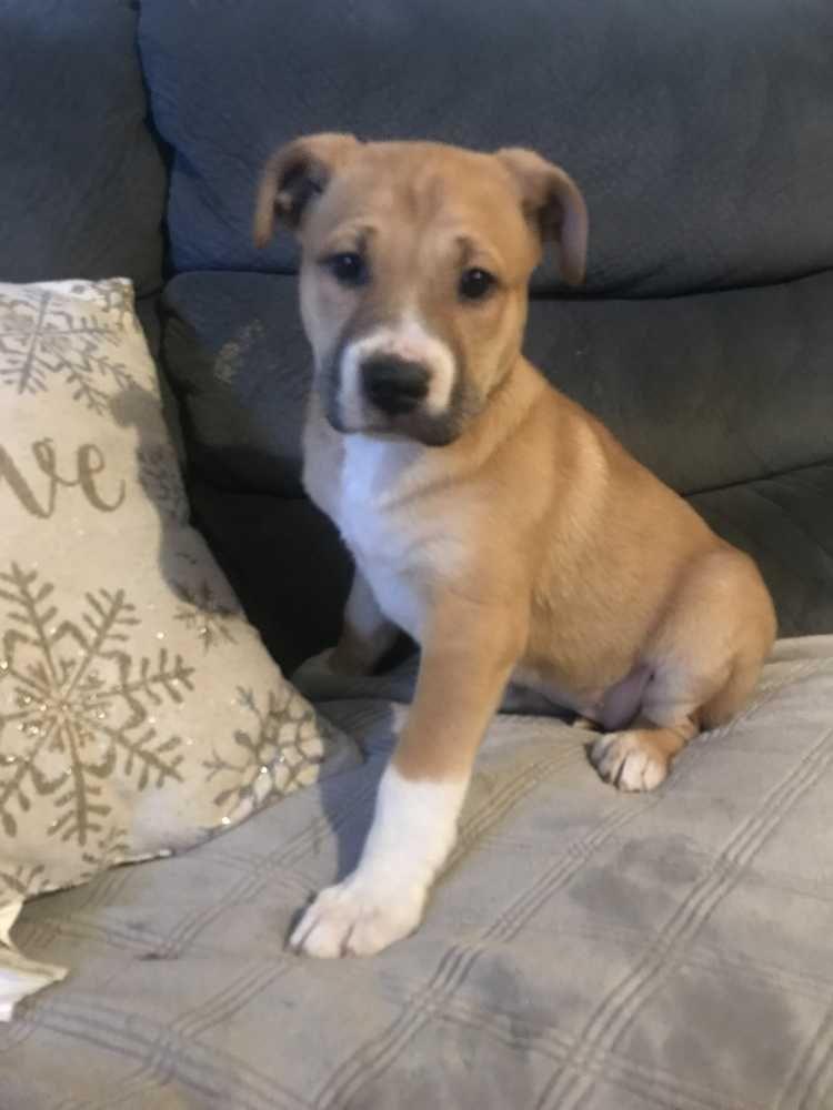 Borador Dog For Adoption In Tucson Az Adn 781298 On Puppyfinder