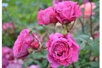 rosier generosa Ventilo ✏✏✏✏✏✏✏✏✏✏✏✏✏✏✏✏  AUTRES FLEURS - OTHER FLOWERS  ☞ https://fr.pinterest.com/JeanfbJf/pin-index-fleurs-barbier-jf/ ══════════════════════ VOITURES ☞  https://fr.pinterest.com/barbierjeanf/pin-index-voitures-v%C3%A9hicules/ ✏✏✏✏✏✏✏✏✏✏✏✏✏✏✏✏