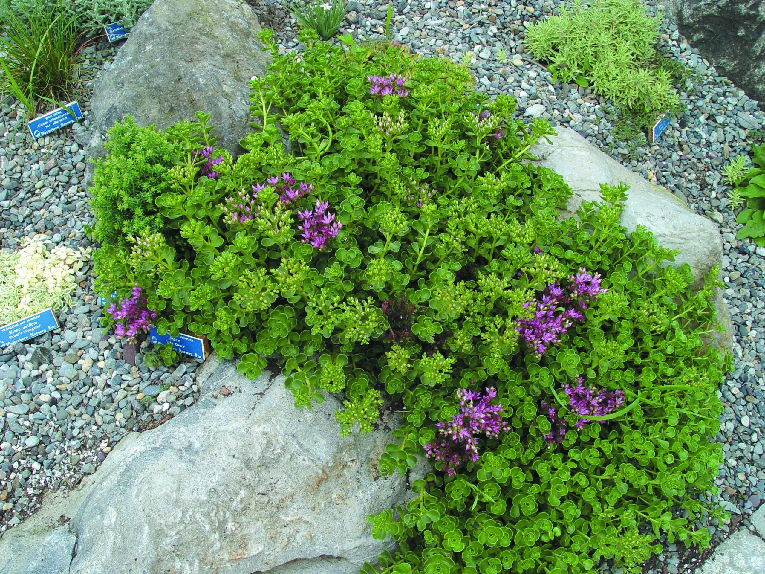 Sedum Spurium 'john Creech' I Like The Bright Green With The Purple Flowers!