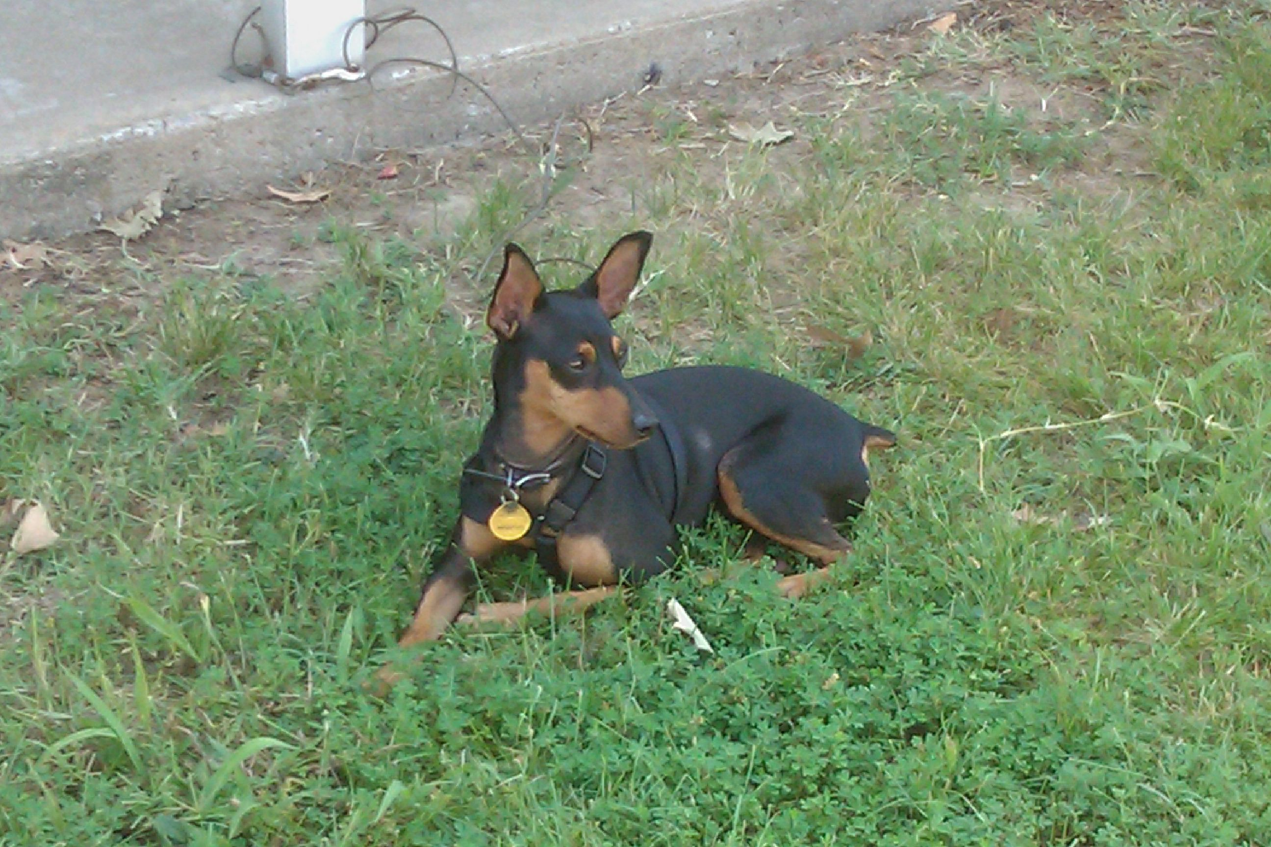 I M A Snip Club Member Bandit Miniature Pinscher Min Pin Dog Mini Pinscher Doberman Pinscher Miniature Pinscher
