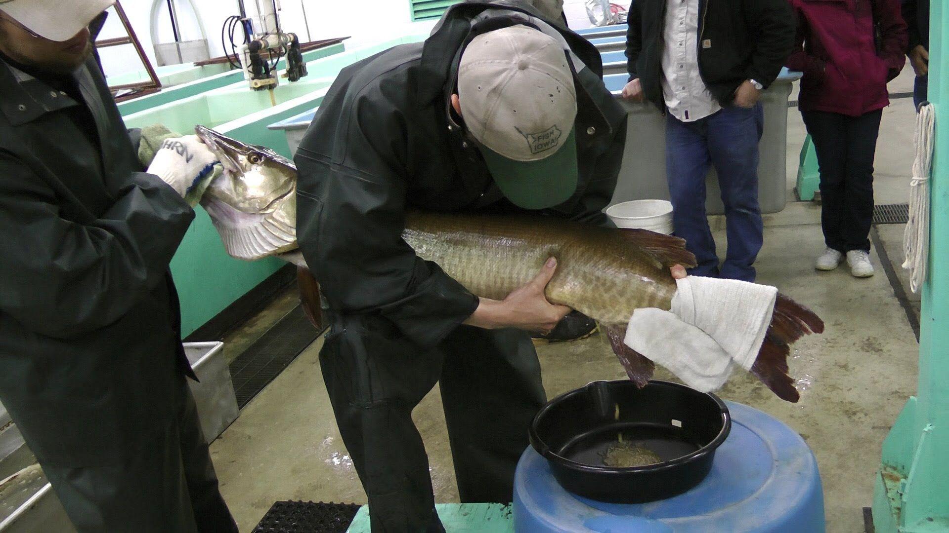 49# and 20 year old Muskie at Spirit Lake Iowa Fish Hatchery