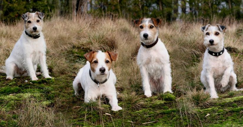 Jack Russell Terrier Parson Russell Terrier Jack Russell