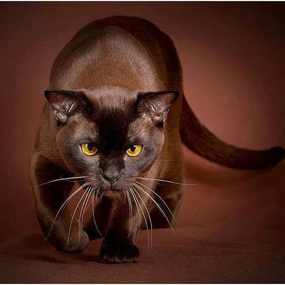 Pin By James Mills On Cat S Beautiful Cats Animals Pretty Cats