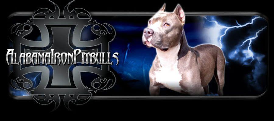 Alabama Iron Pitbulls Have Some Of The Best Xxl Pitbull Kennels