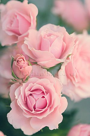 Pink Spray Roses.   reminds me of roses that my dad had & then brought me a piece of it for our home at our farm,always bloomed just before Mother's Day!