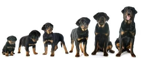 What Makes The Rottweiler So Popular Rottweiler Names Dog