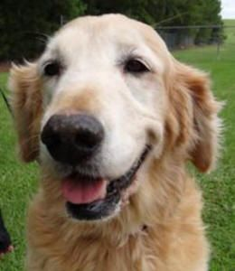 Katherine Has Been Adopted This Is Katherine And She Is Approx 8 Yrs Old She Was Found Wandering In A Wal Mar Golden Retriever Golden Retriever Rescue Golden