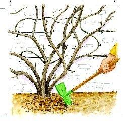 La Taille De La Glycine Hortensia Grimpant Glycine Et Arbre De