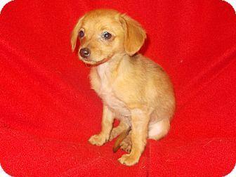 Richmond Va Chihuahua Dachshund Mix Meet Chiweenie 12 A Puppy