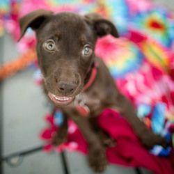 Adopt Hershey On Lab Mix Puppies Labrador Retriever Dog