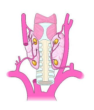 20+ Parathyroid Glands, Hyperparathyroidism, High Calcium and Parathyroid Surgery by Expert Parathyroid Surgeons.