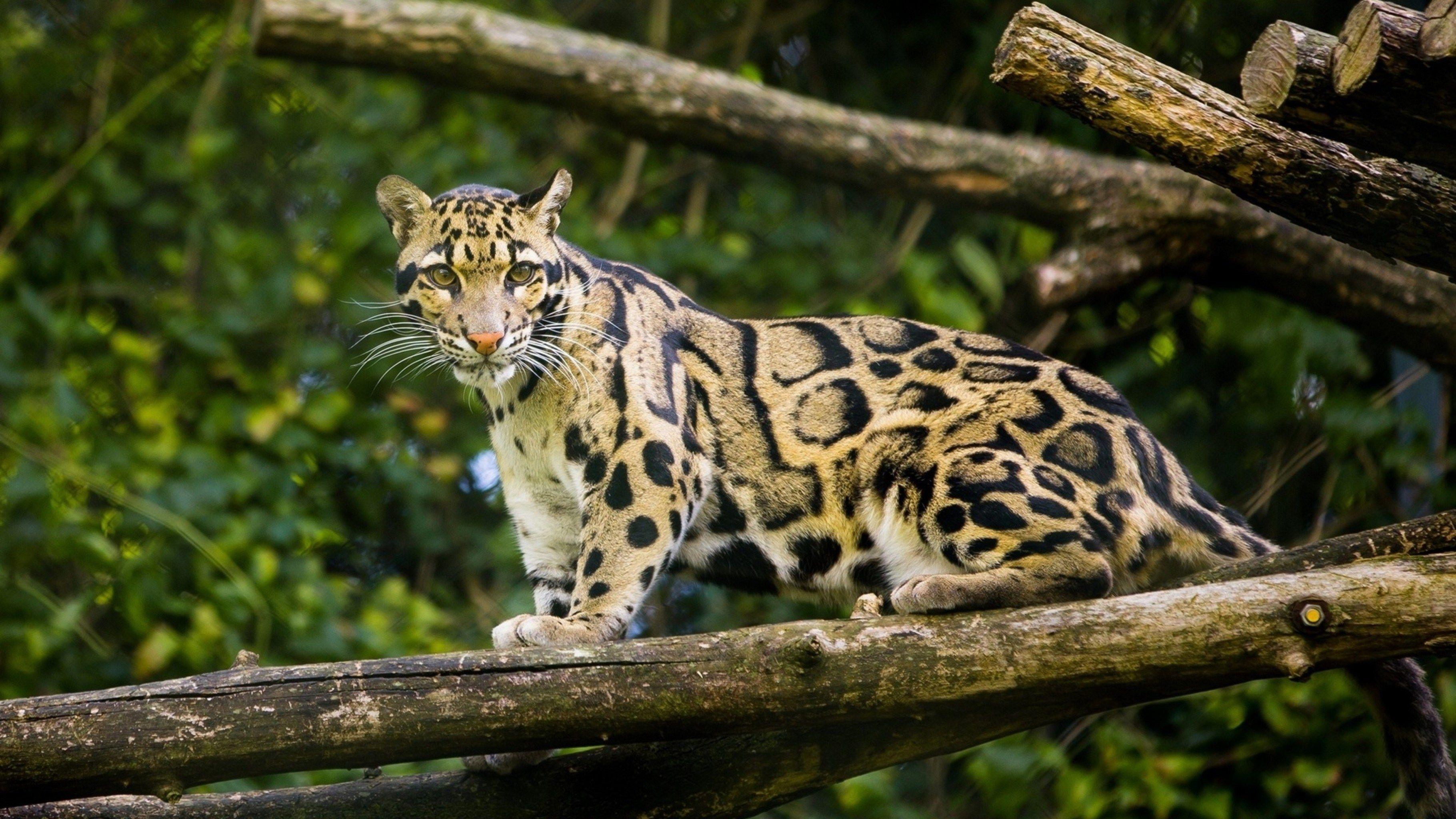 Báo gấm Clouded Leopard trong 2020 Báo gấm, Động vật