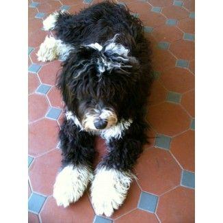 Bordoodle Puppies Minature Poodle Bordoodle Border Collie Poodle Mix