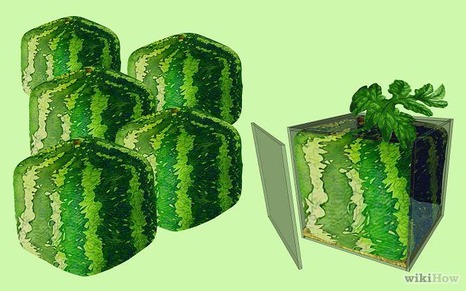 Grow a Square Watermelon Step 5.jpg