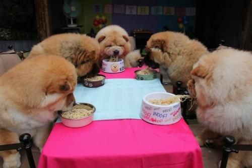 Chow Chows Are The Most Pampered Breed Alive Love It Chow Chow