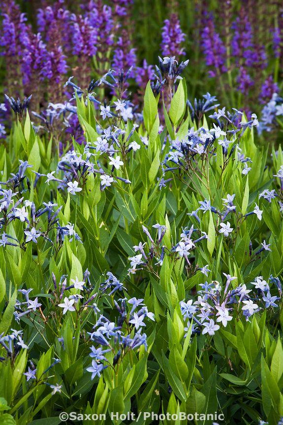 Blue Star Amsonia Blue Ice Flowering Perennial In Lurie Garden