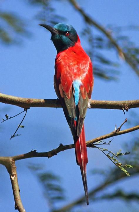 Northern Carmine Bee-eater in the Lake Chad region (Merops nubicus)