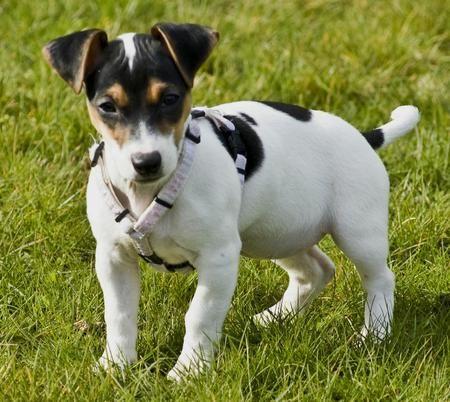 Jackie The Jack Russell Terrier In 2020 Jack Russell Jack Russell Terrier Puppies Jack Russell Terrier
