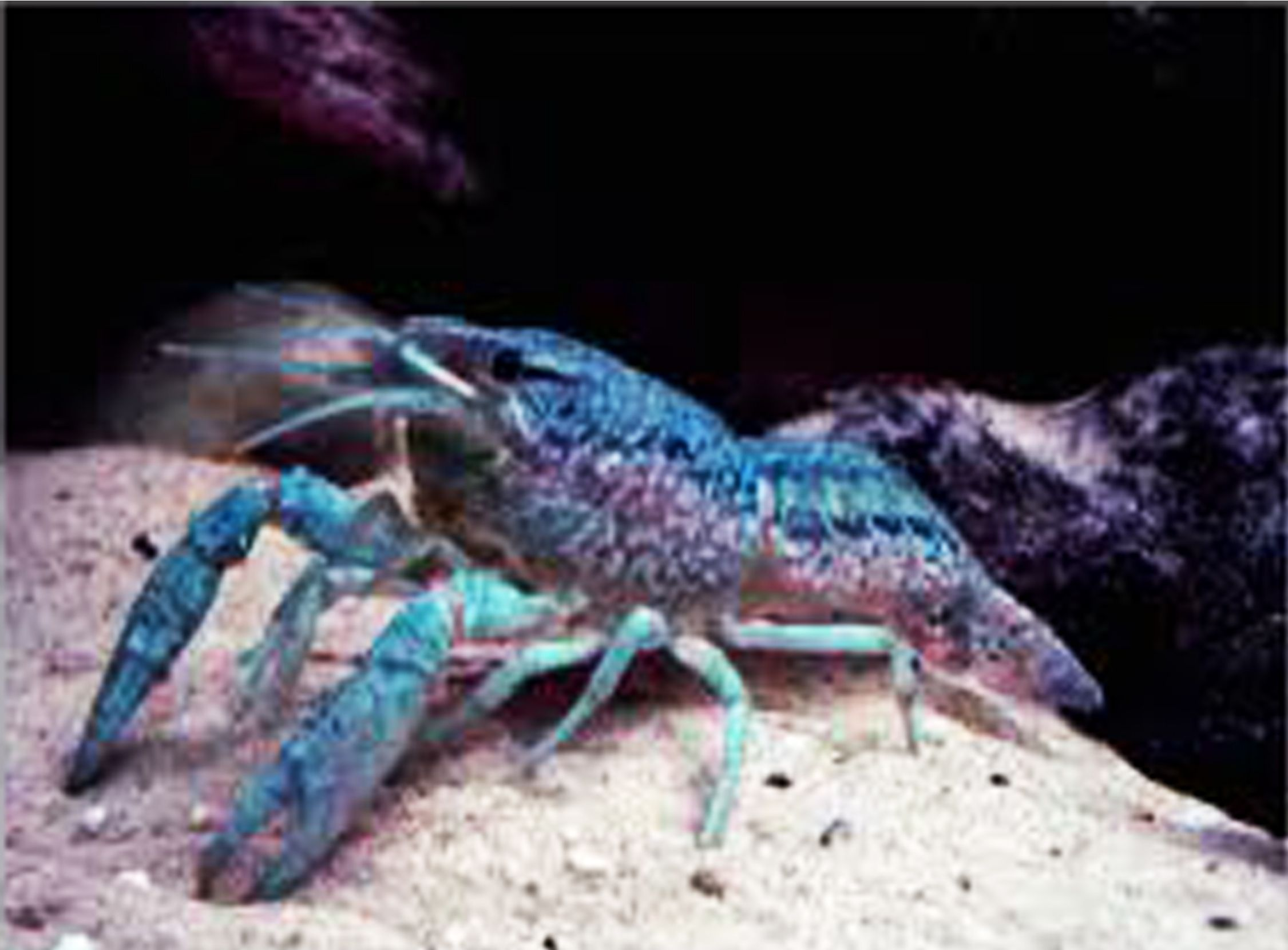 Blue Marble Crayfish The world s only self cloning crayfish