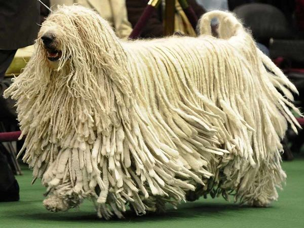 10 Long Haired Dog Breeds Komondor Dog Westminster Dog Show Komondor
