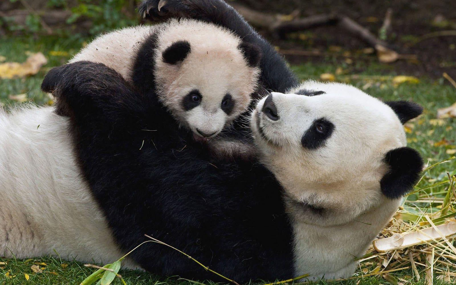 cute animal pictures | Cute photo of a mama panda bear ...
