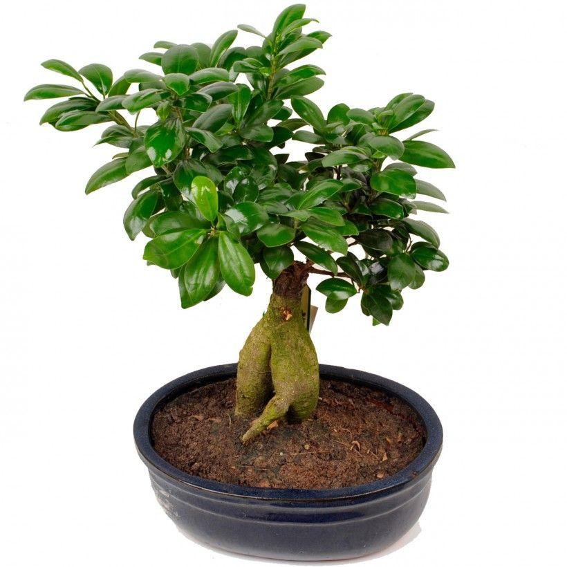 plante tropicale mi ombre - Recherche Google | Ficus microcarpa ...