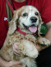 Ny Pet Rescue 914 834 6955 Alfie Is A 3 Year Old Cocker Spaniel For Adoption Animal Rescue Nyc Dogs Shelter Dogs