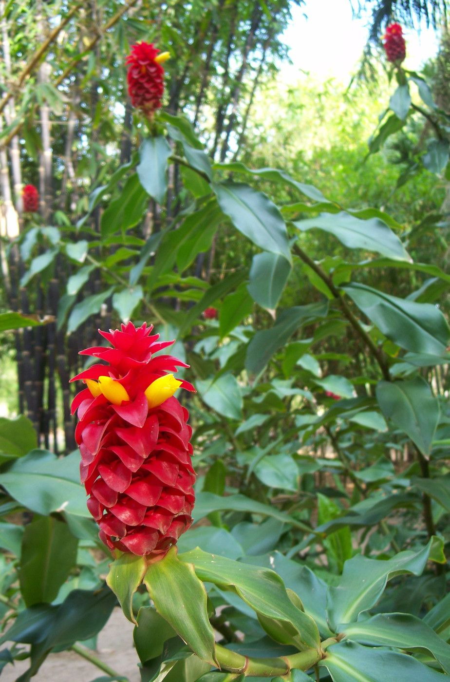 Costus comosus (Red Tower Ginger) One of the best