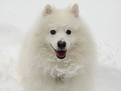 Happy snow eskimo dog
